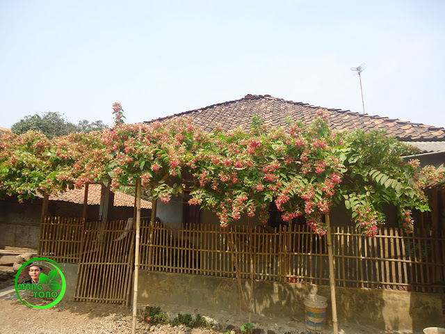 Tanaman Bunga Melati Belanda di Rumah sederhana... Tapi terlihat cantik, feminine dan romantis.