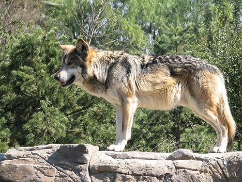 Rehabilitación Del Lobo Gris En Proceso: LOS ANIMALES EN VIA DE EXTINCION: ANIMALES EN PELIGRO DE