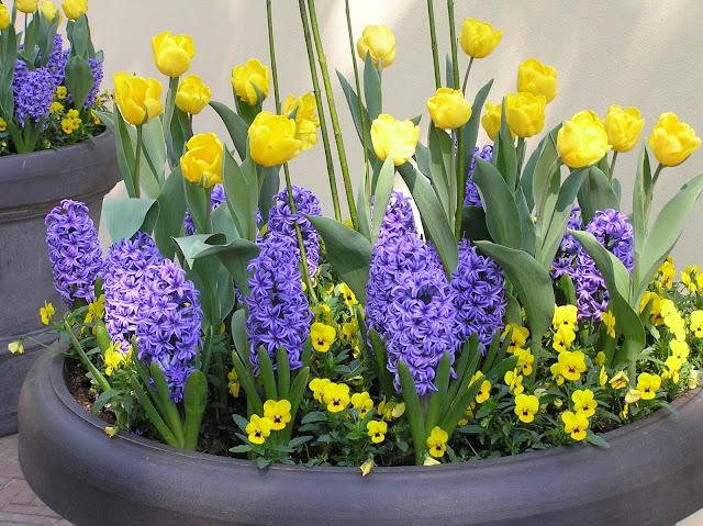 tulipany, bratki i hiacynty w donicy w Keukenhof