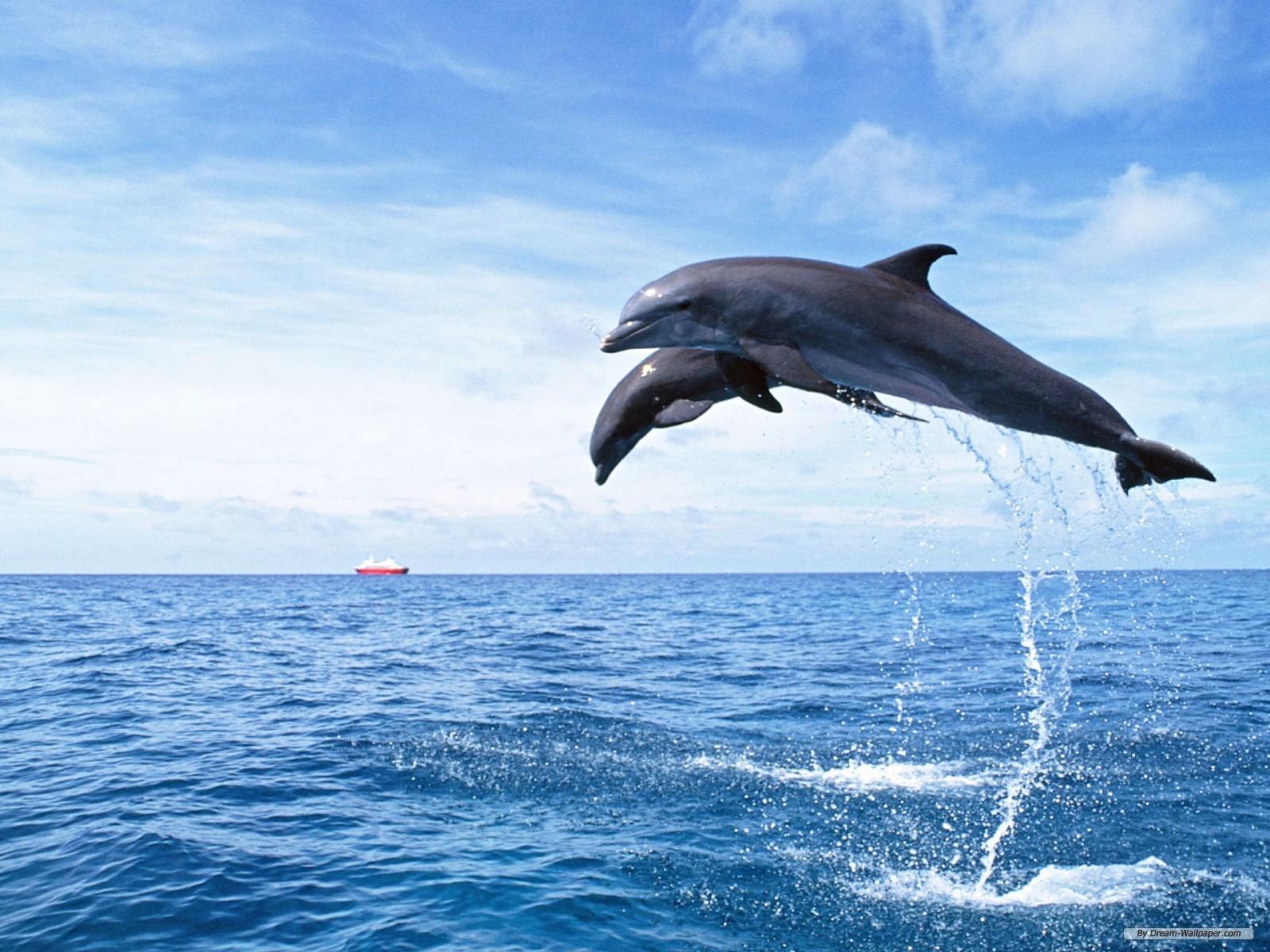 HD Wallpaper: dolphin hd wallpapers