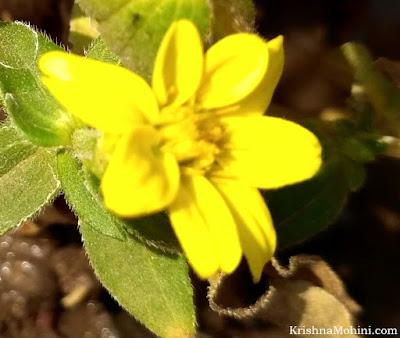 Image:Yellow Floret
