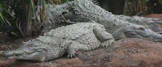 reptiles en peligro de extincion cocodrilo del Orinoco Crocodylus intermedius