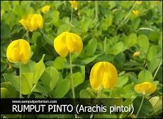 Klasifikasi dan Morfologi Rumput Pinto (Arachis pintoi)