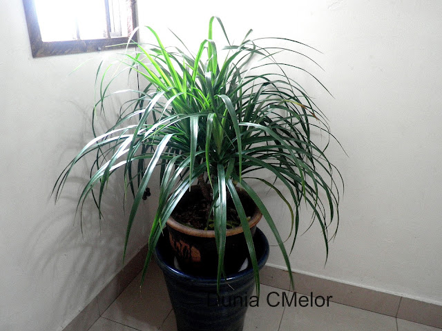 pokok dracaena