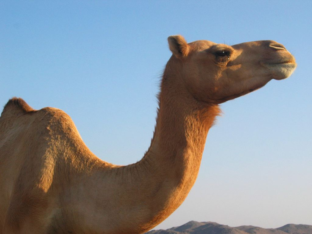 Camel Dog Food