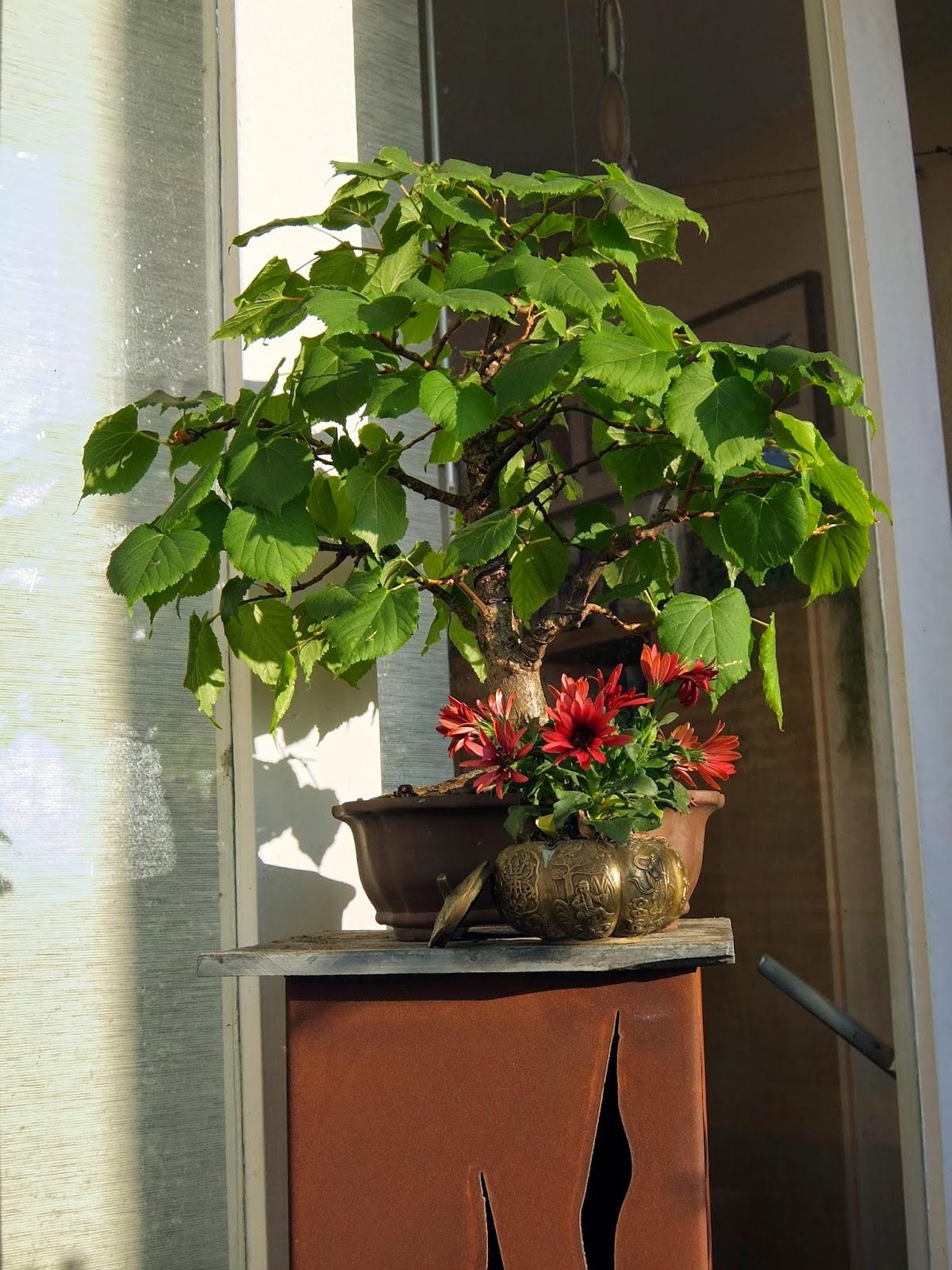bonsai gemeinschaft bonsai pr sentation. Black Bedroom Furniture Sets. Home Design Ideas