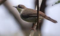 Burung Peor /Opior Paruh Tebal (Heleia crassirostris)