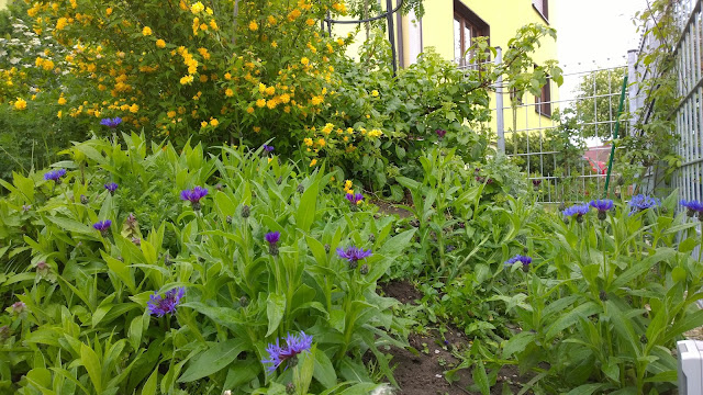blaue Flockenblumen und gelber Ranunkelstrauch (c) by Joachim Wenk