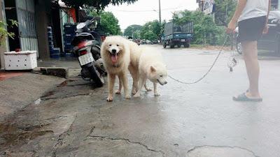 Đực phối giống chó samoyed Hải Tặc