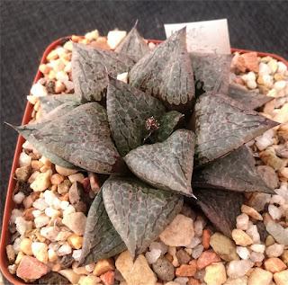Haworthia comptoniana - M120212A