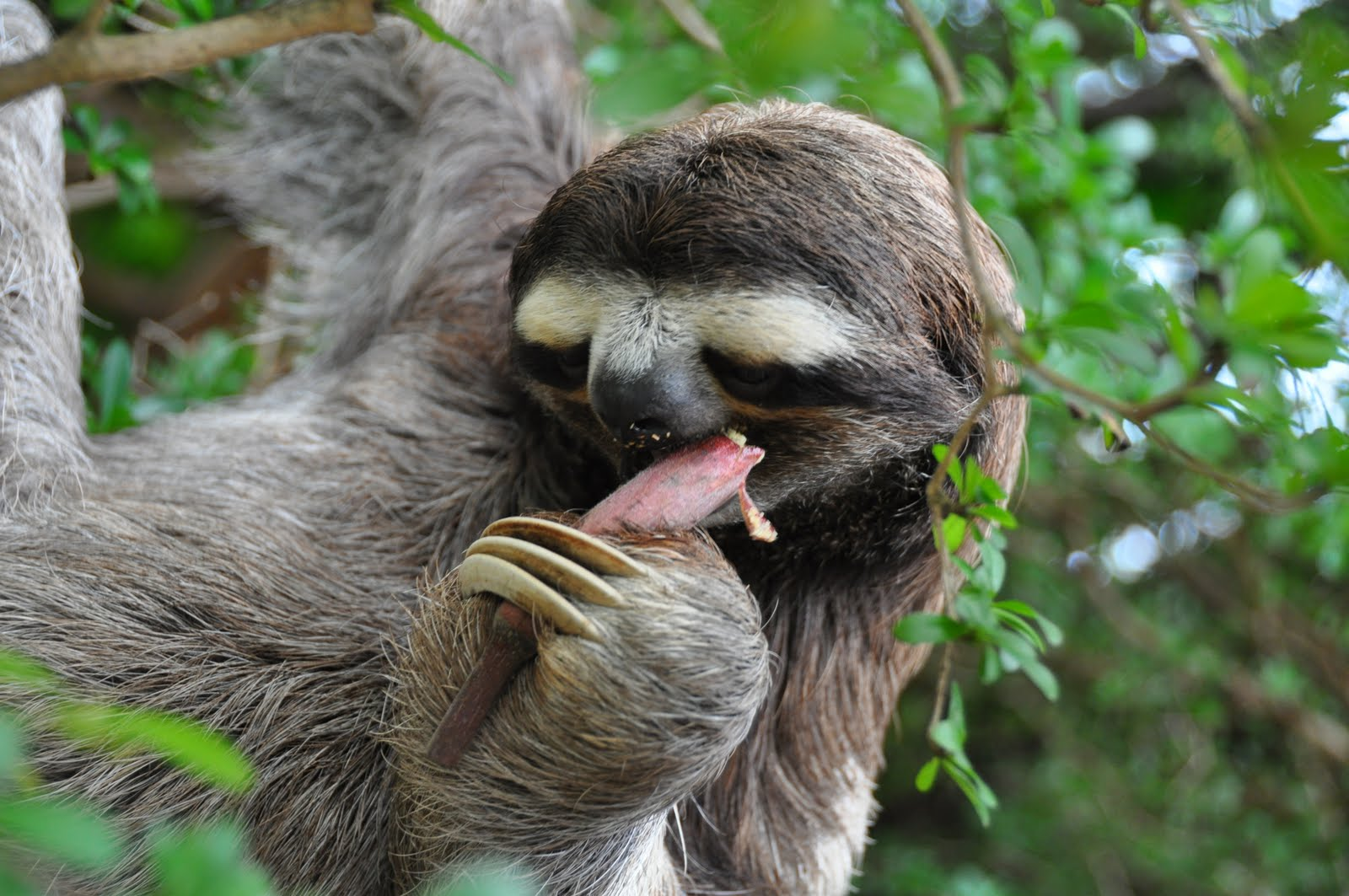 Sloth animal funny quotes quotesgram - Funny animal wallpapers ...