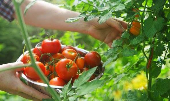 Cara Praktis Menanam Tomat Agar Hasil Melimpah dan Berkualitas