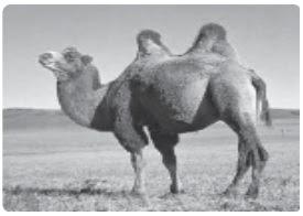 Ciri-ciri Khusus Hewan : Kelelawar, Cicak atau Tokek, Bunglon, Unta, dan Hewan Dingin)