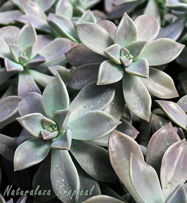 Plantas Fantasmas o Madres Perlas, Graptopetalum paraguayense