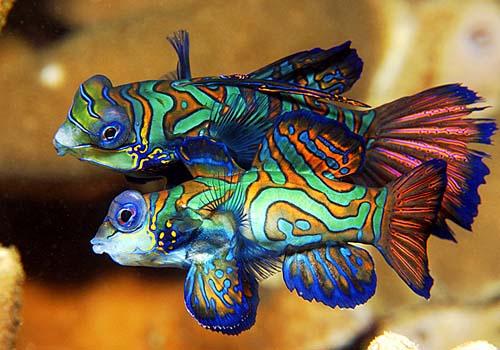 Fish Wallpapers: Green Mandarin Fish Photos
