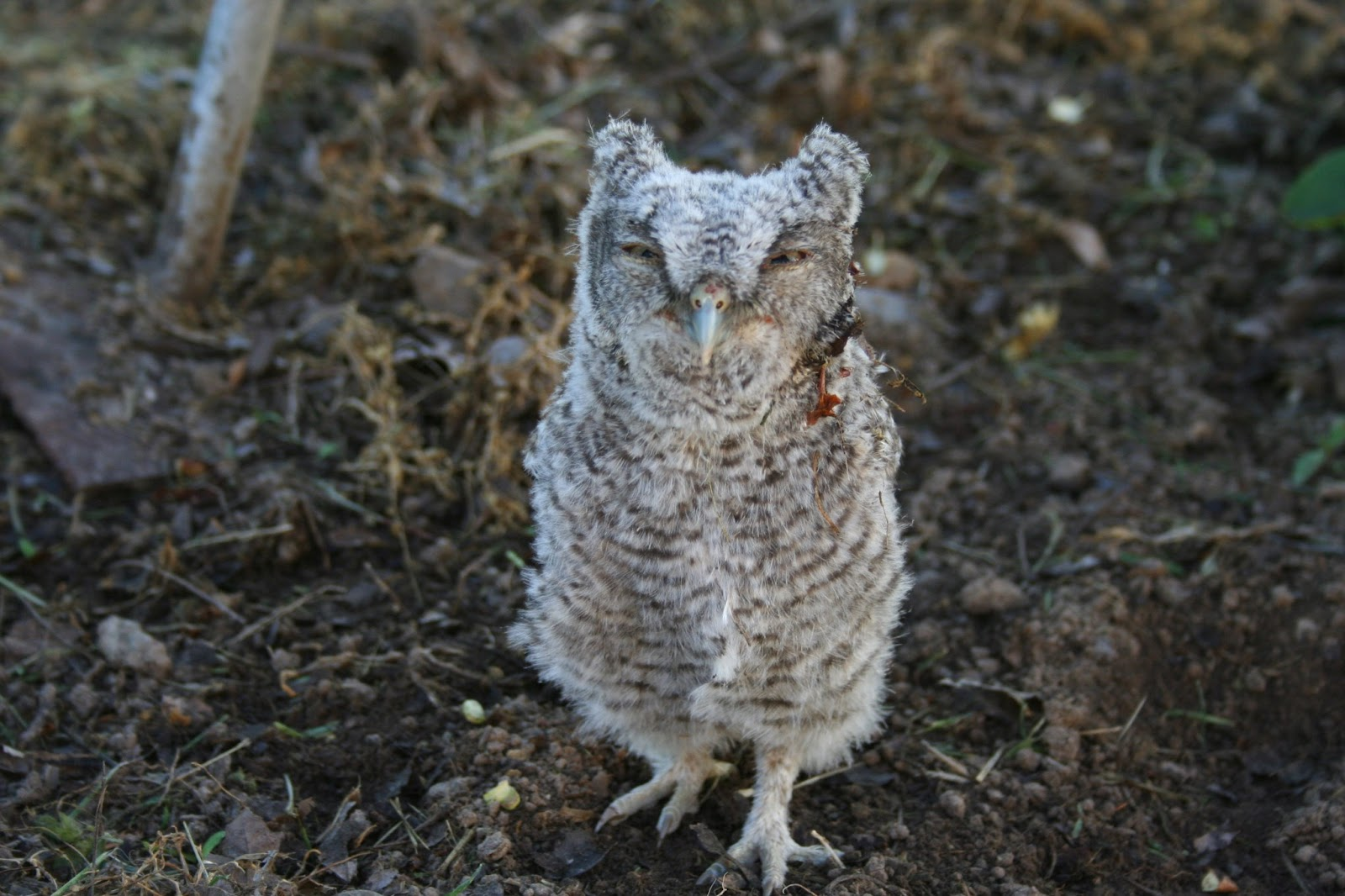Baby western screech owl royalty free stock images image 29332139