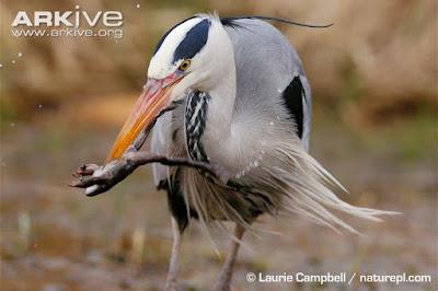 Heron eat Common Frog