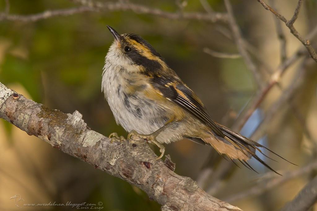 Rayadito (Thorn-tailed Rayadito) Aphrastura spinicauda