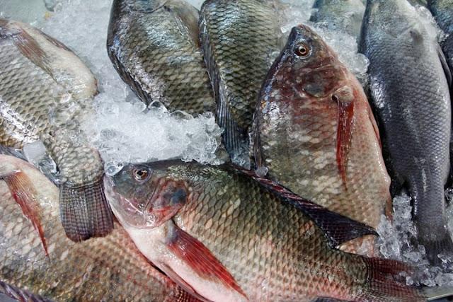 Cara Budidaya Ikan Nila Di Kolam Terpal Untuk Pemula Di Rumah