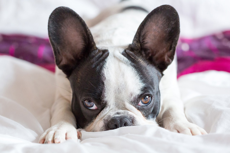 A cute French Bulldog puppy lies down and looks up