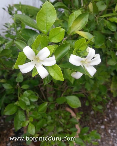 Murraya paniculata, Orange Jasmine