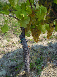 cortese grape that makes up Gavi wines
