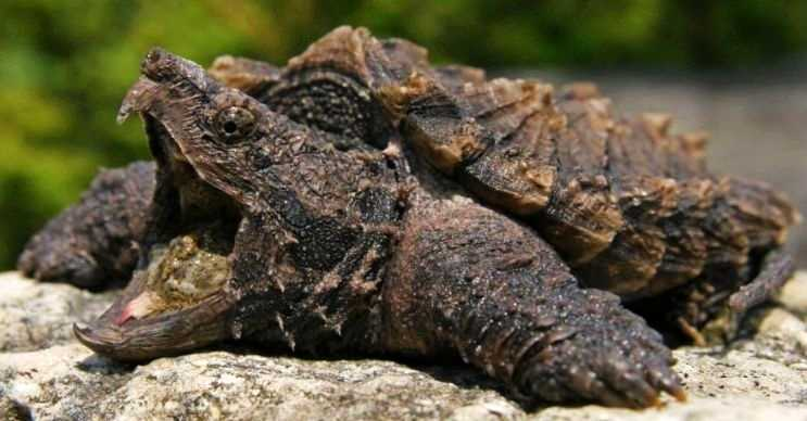 Timsah kapan kaplumbağası zehirli bir türdür, timsahlar ve yılanlarla beslenir.