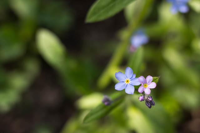 Lemmikki-kukkia