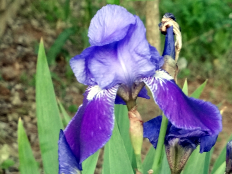 Iris, blooms, purple, spring, earth day, #garden