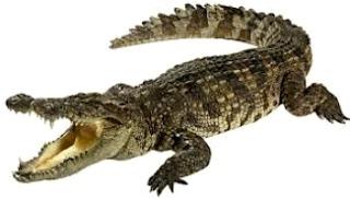 Foto de cocodrilo abriendo la boca - animal con C