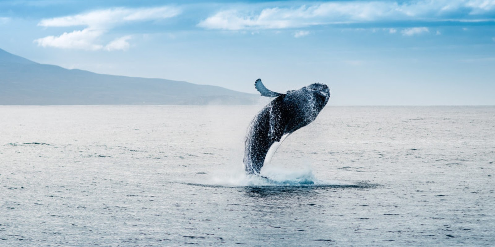 Stunning Video Depicts 40-Ton Whale Jumping Entirely Out Of The Water