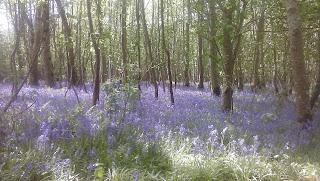les s fialovými zvončekmi