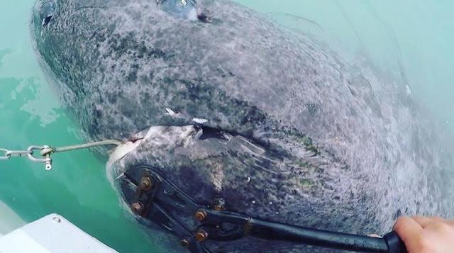 Απίστευτο: «Ψάρεψαν» καρχαρία 512 ετών - Είναι το γηραιότερο εν ζωή πλάσμα στον κόσμο (βίντεο)