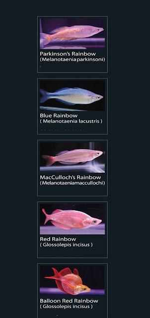 Nama Latin melanotaenia  parkinsoni  7. blue rainbow   Nama Latin melanotaenia  lacustris  8. red rainbow  Nama Latin glossolepis inciseus  9. Baloon red rainbow Nama Latin glossolepis incisus