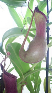 jarro de nepenthes