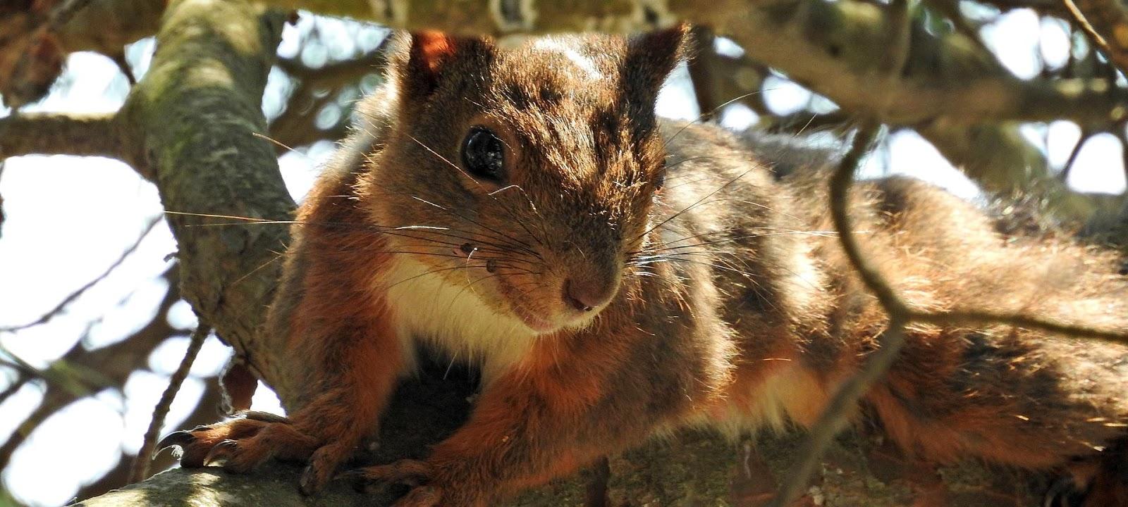 Mladi crni vjeverica