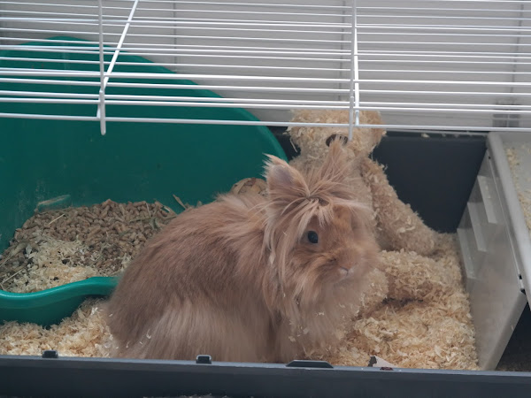 Rory the Lionhead Rabbit