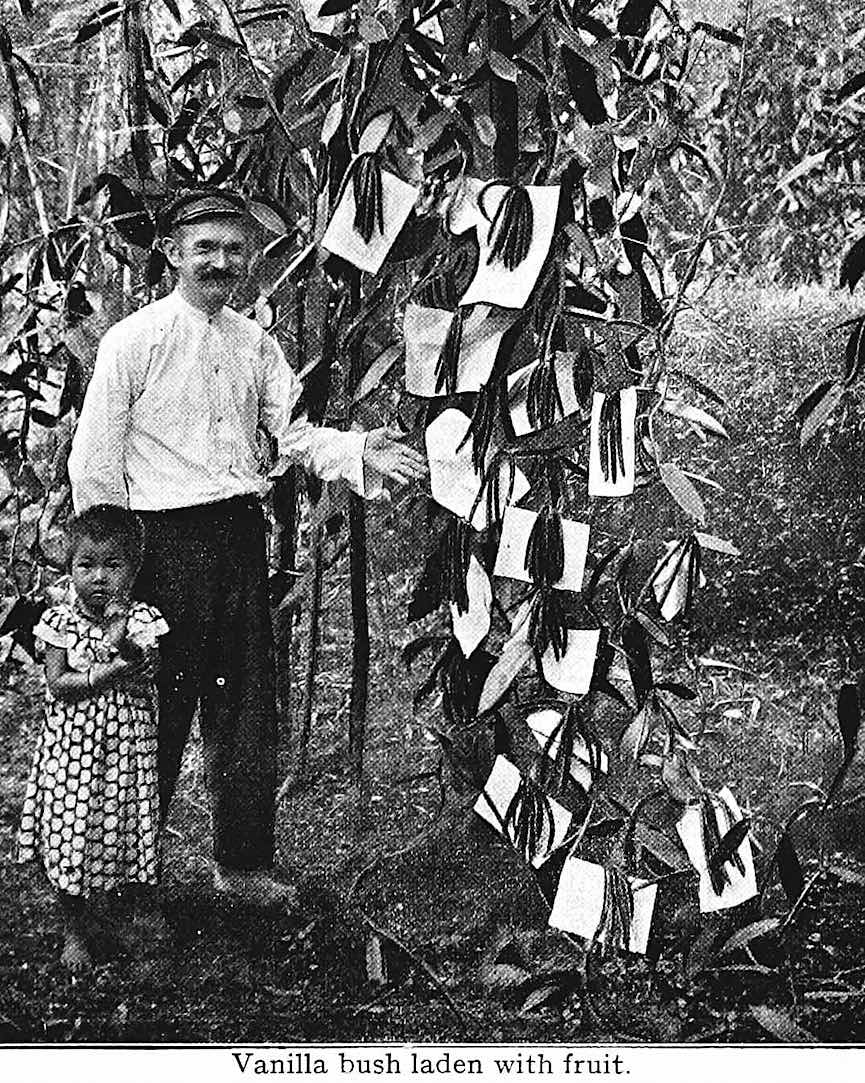 1922 vanilla farm, a photograph of vanilla fruit