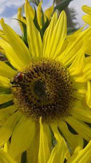 Bumblebee%252C%2Bspecies%2Bunknown