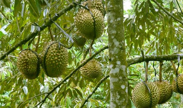 Peluang Usaha Budidaya Durian Montong