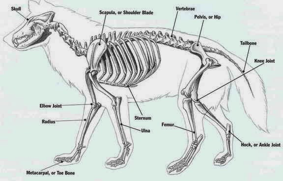 veterinary online: wolf, all about wolves 2014, wolves, wolf color, anatomy  of wolves