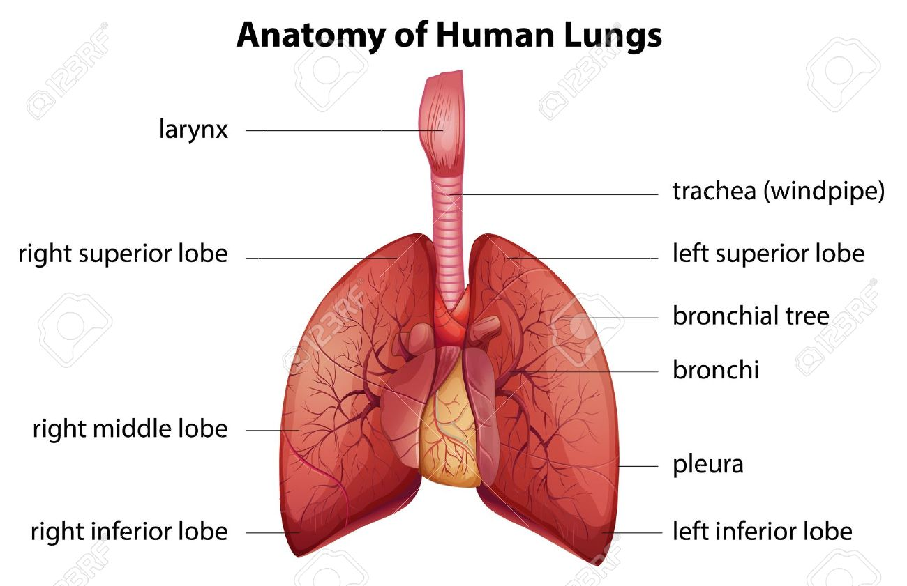 Human Body 20 Project Rvw The Respiratory System