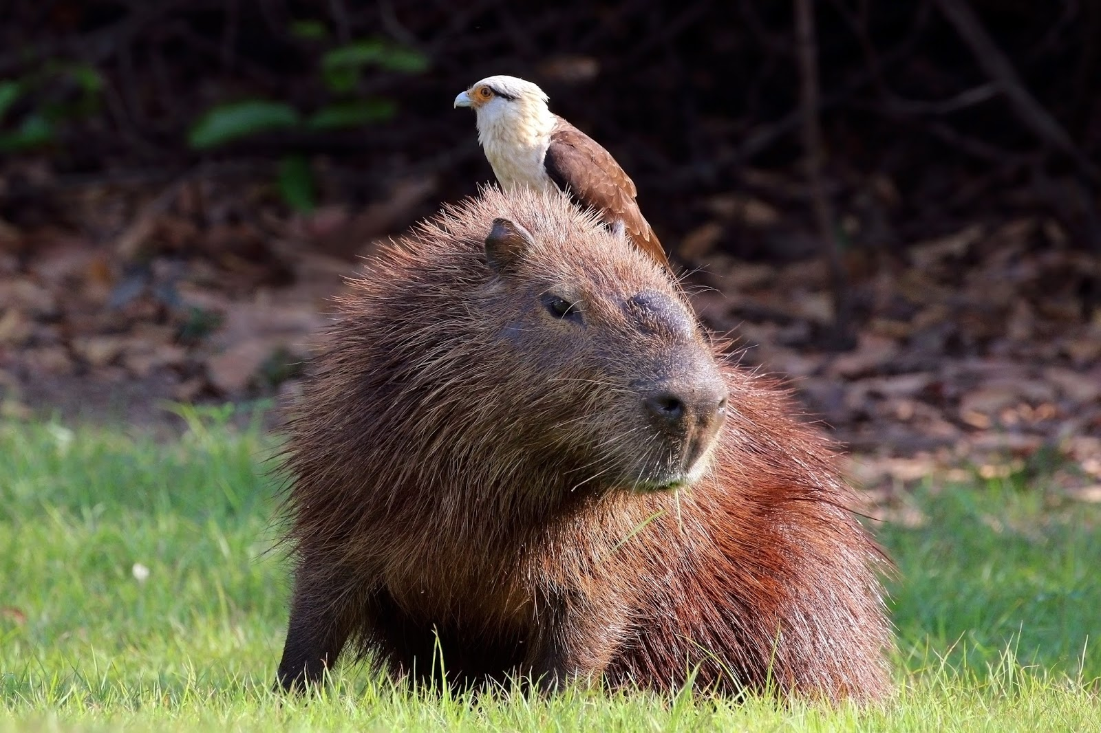Mammals Animals: Yellow headed caracara (Milvago chimachima) on capybara (Hydrochoeris hydrochaeris)