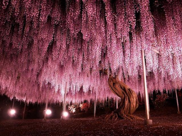 144 anos você tem essa árvore japonesa. Uma preciosidade que, se cuidada, pode dar muito de si para o lugar onde está