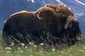 Musk Ox Facts, Amazing Animals , Musk Ox Amazing Fact