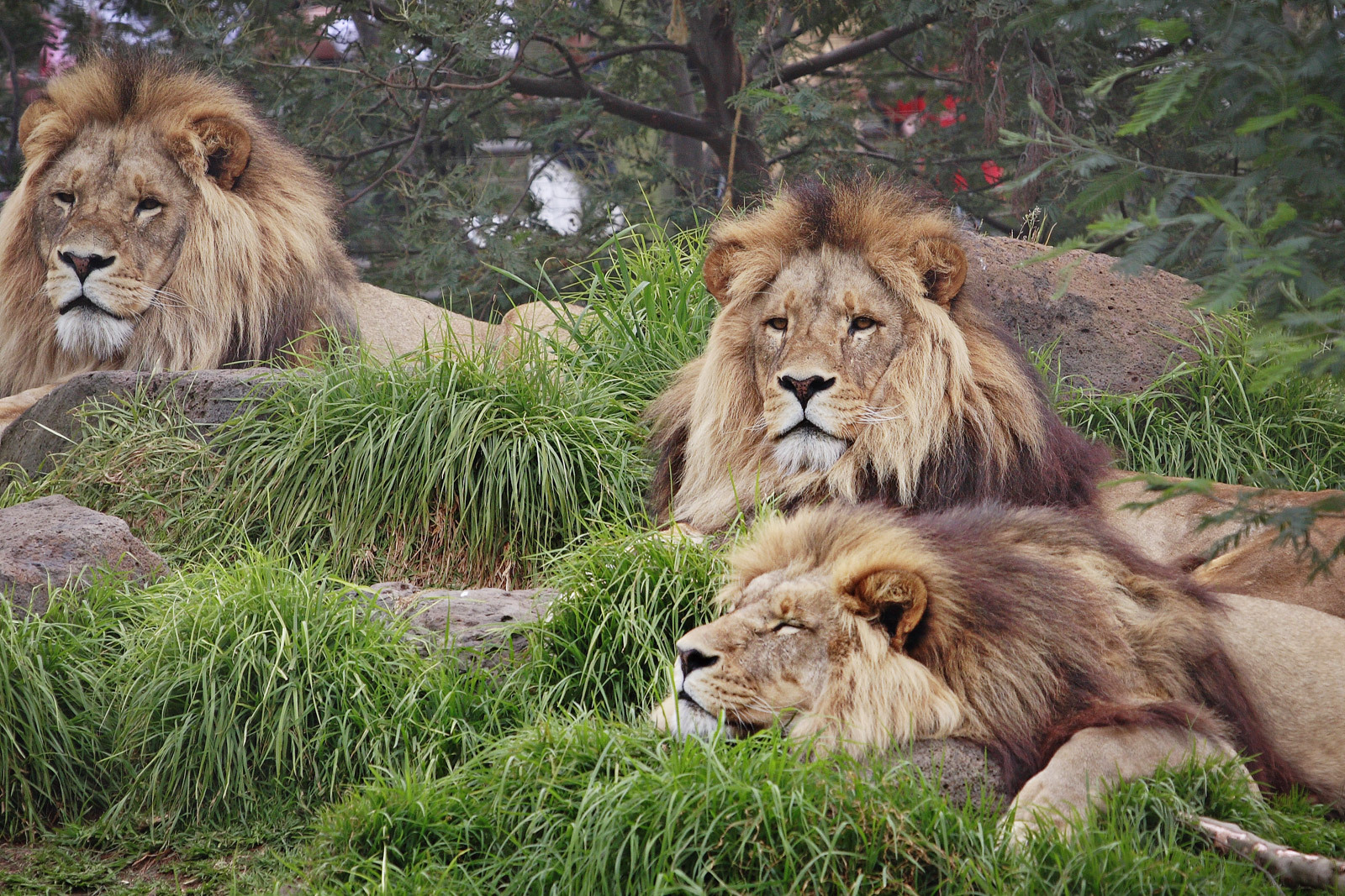 Lion Hd Wallpapers: Lion Wallpapers Hd