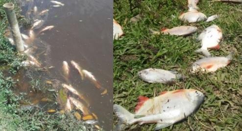 Criadores de pescado en rep blica dominicana denuncian for Criadero de pescado