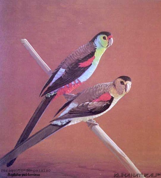 Periquito-do-Paraíso (Psephotus pulcherrimus)