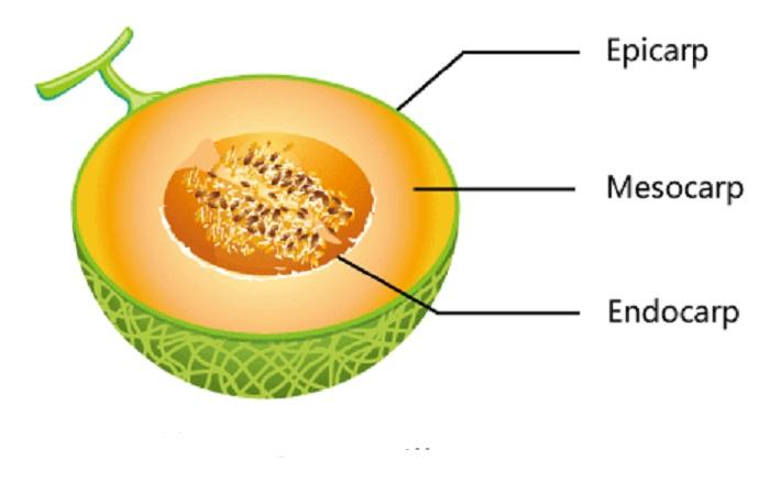 Struktur Morfologi dan Anatomi Buah dan Biji Tumbuhan