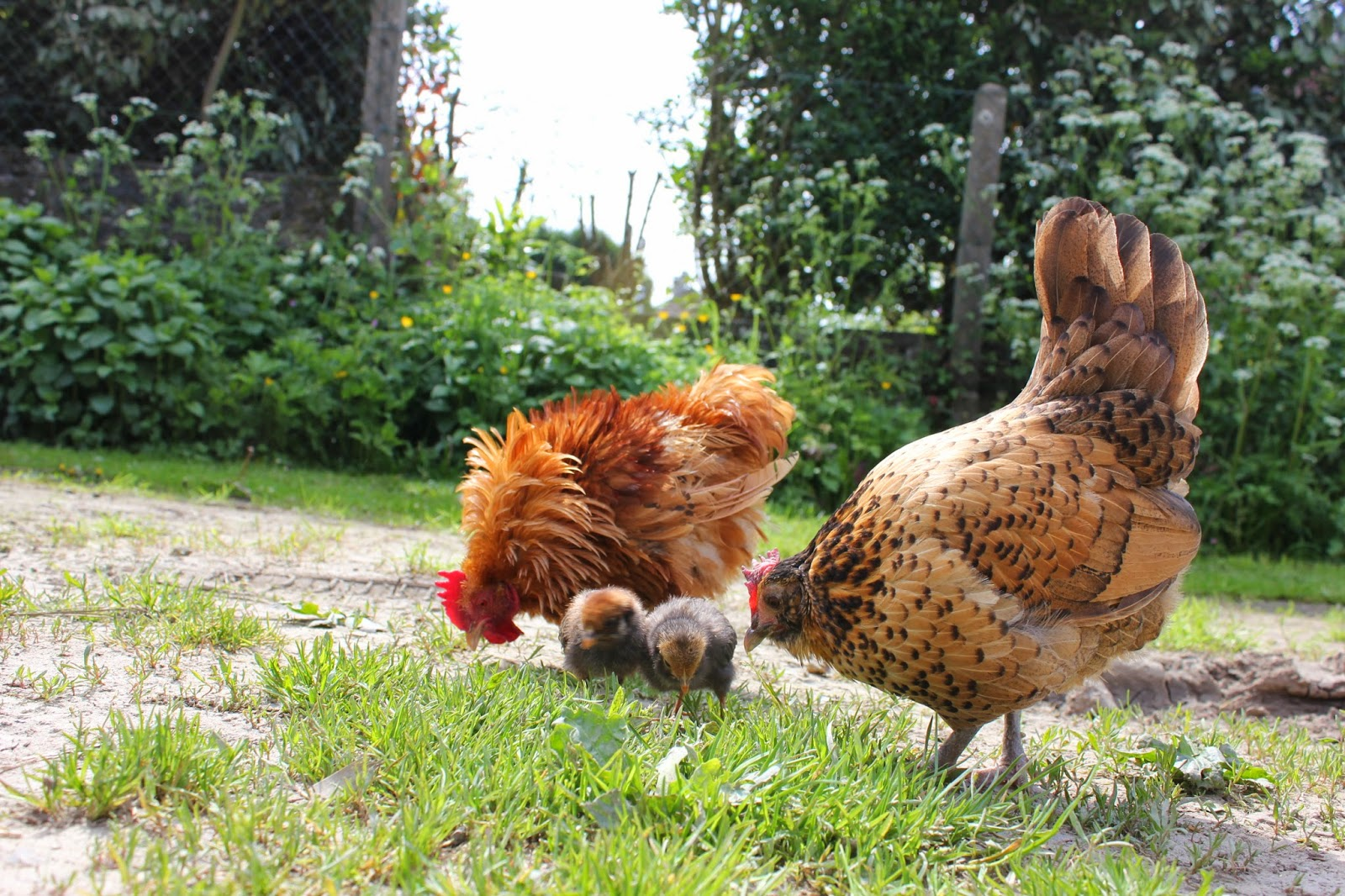 Organic Hen, rooster and their chicks
